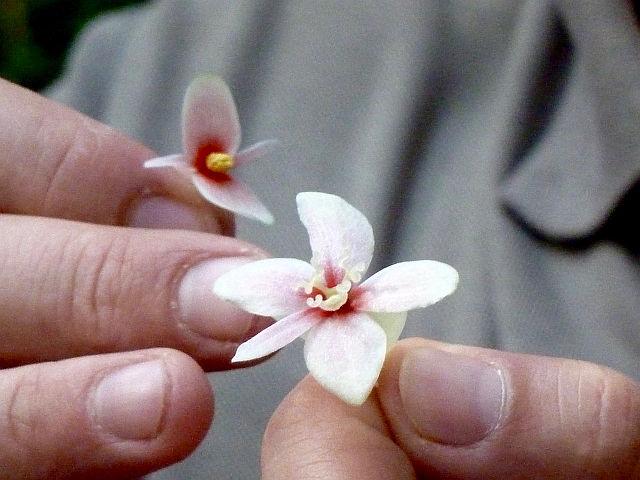 UTL Bégonia fleur male à gauche fleur femelle à droite.jpg
