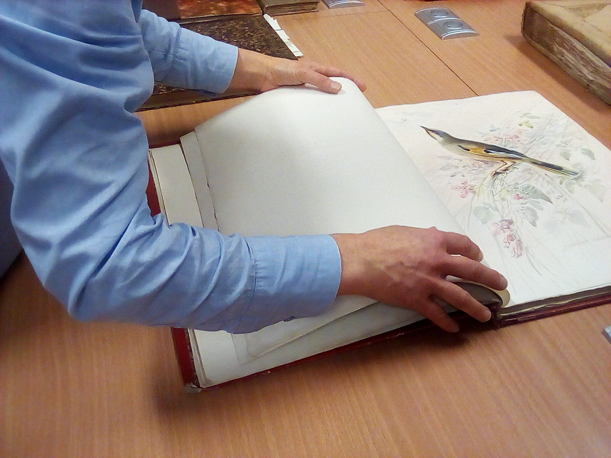 Médiathèque fonds Lesson aquarelles ornithologiques  21 11 2019.jpg