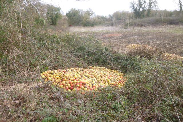 UTL grande marche 29 01 2020 Récolte de pommes Romegoux.jpg