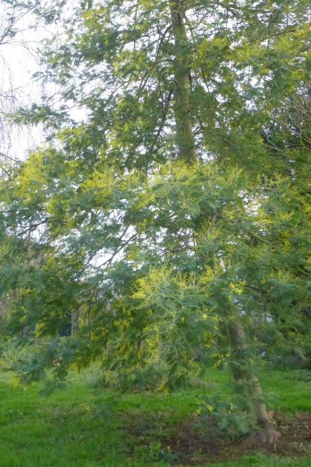 UTL grande marche 29 01 2020 Romegoux lumière dans la nature le mimosa.jpg