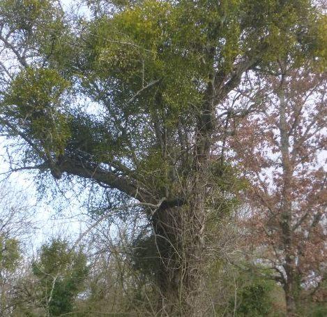 UTL grande marche 29 01 2020 Roumegoux gui dans les arbres.jpg