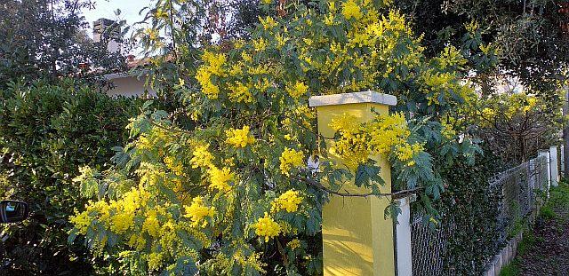 UTL grande marche 5-2-2020 mimosas à Ronce les bains.jpg