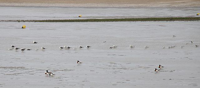 UTL  Baie d'Aytré 11 02 2020 Tadornes de belon  mouettes et goélands.jpg