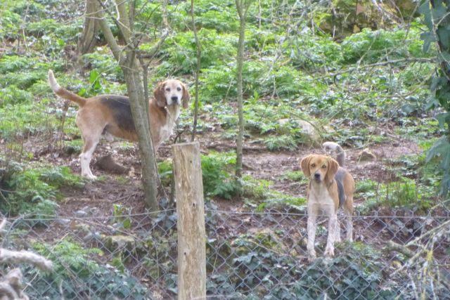 UTL grande marche 12 02 2020 chiens de chasse Razour .jpg