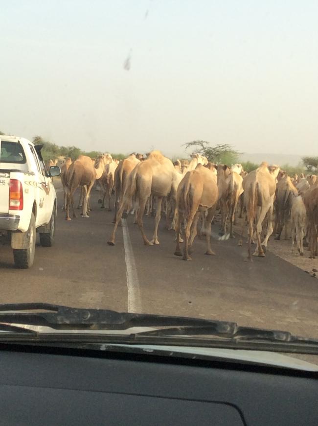 passage de chameaux.JPG