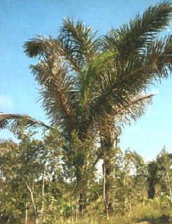 palmier raphia.jpg