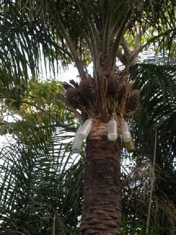 Vin de palme.jpg