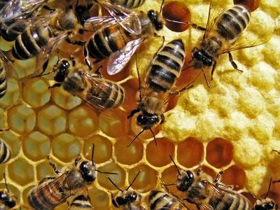 Des-abeilles-dans-une-ruche_reference.jpg