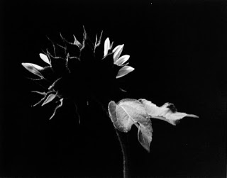 Sunflower%20(2%20taling%20leafs).jpg