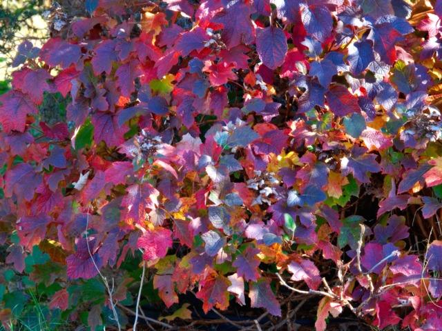 hydrangea-quercifolia-automne-2.jpg