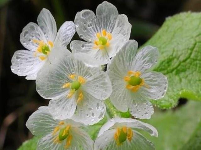 ob_94141b_diphylleia-grayi-1-fleurs-de-verre.jpg