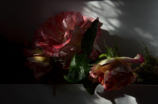 OMBRES DE ROSES...