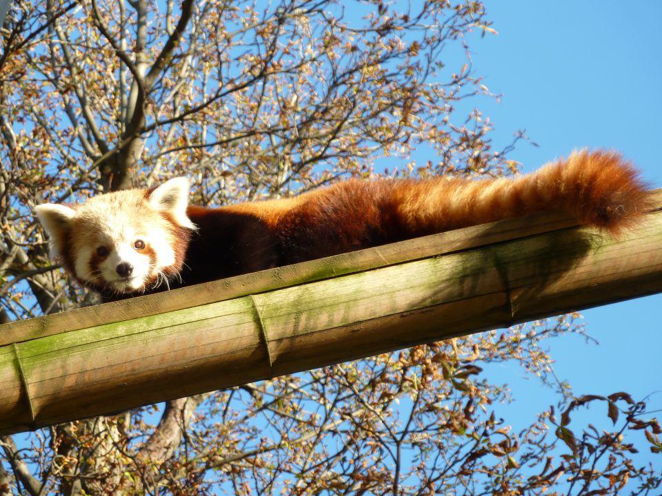 Connaître et Protéger le Panda Roux