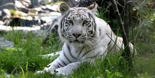 tigre-blanc-du-bengal.jpg