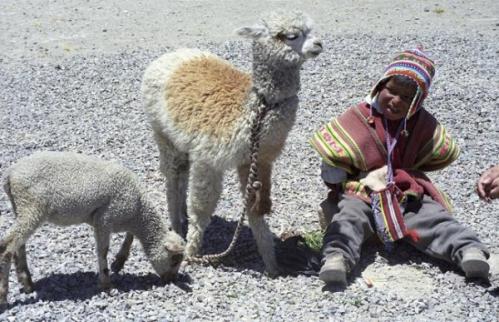 l-agneau-le-bebe-alpaga-et-l-enfant.jpg