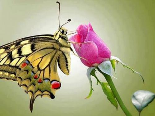 papillon et rose.jpg