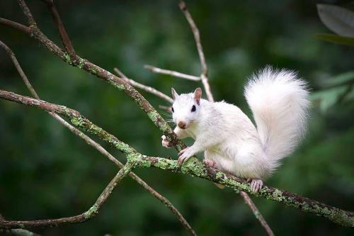écureuil blanc.jpg