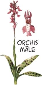 orchisM-le copie.jpg