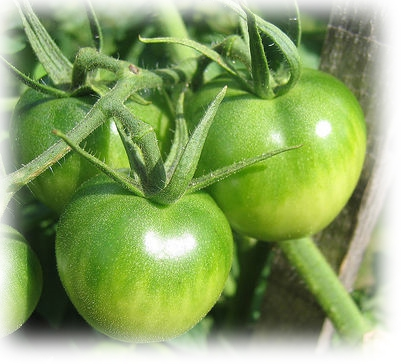 tomatesVertes copie.jpg