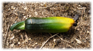 CourgetteAvortee.png