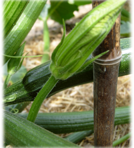 CourgetteFleurMale.png