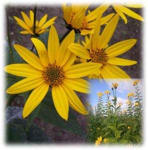 hélianthis fleur