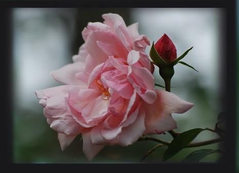 rose2-crop.jpg