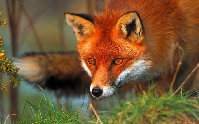 6935377-red-fox.jpg