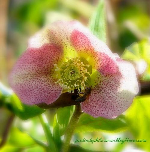 hellebore-abeille.jpg