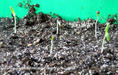 semis-tomates7.jpg