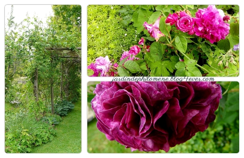 aulon-roses.jpg