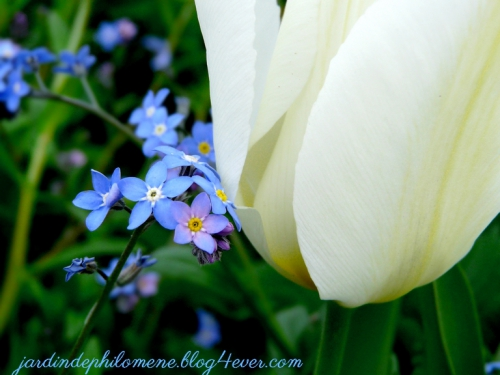tulipe-myosotis.jpg