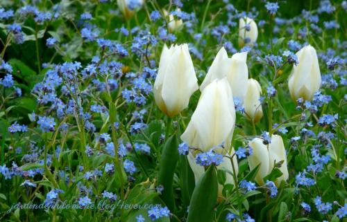 tulipe-myosotis-long.jpg