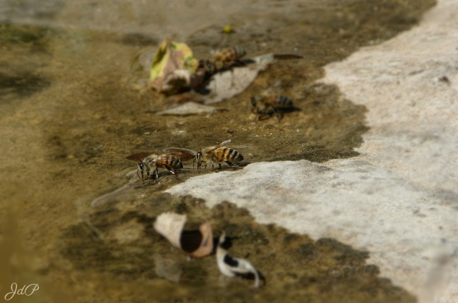 abeilles-poulaines.jpg