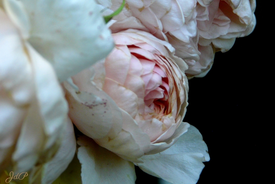 rose-poulaines.jpg
