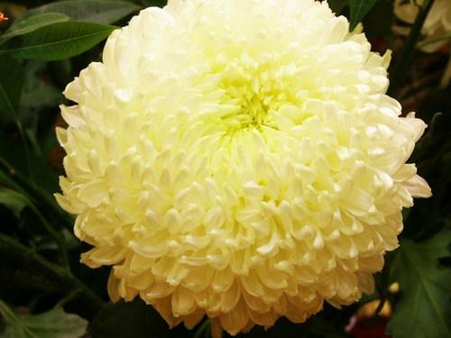 chrysantheme 1.jpg