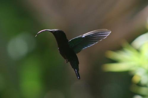 Colibri falle vert Jardin de Balata MC.jpg