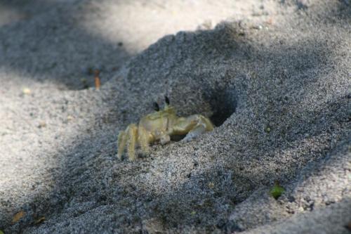 Crabe mal z'oreille MC.jpg