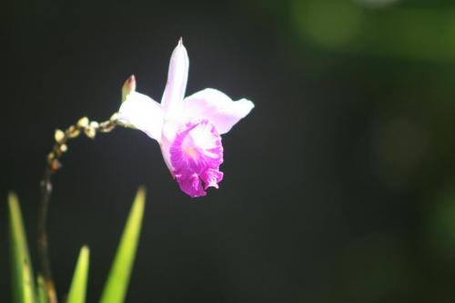 Orchidées bambou 2 MC.jpg