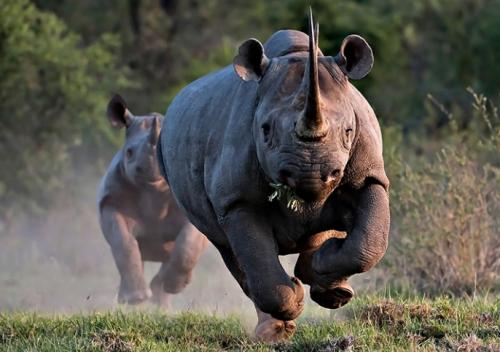 rhinocéros1.png