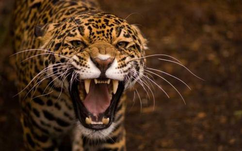 colere-jaguar1.jpg