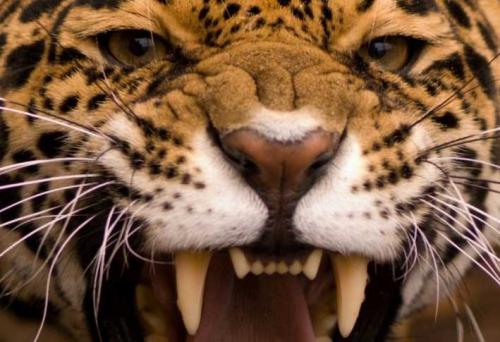 colere-jaguar2.jpg