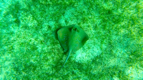 BLUE SPOTTED RAY 1.jpg