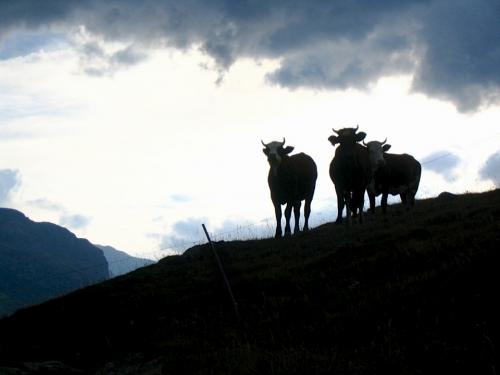 vaches montagne.jpg