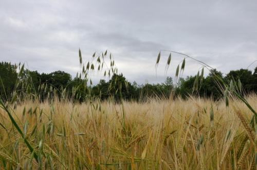 blés champs.jpg