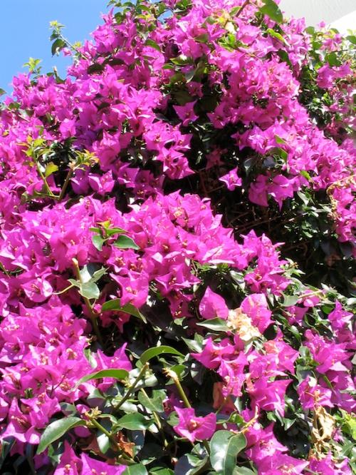 grèce fleurs.jpg