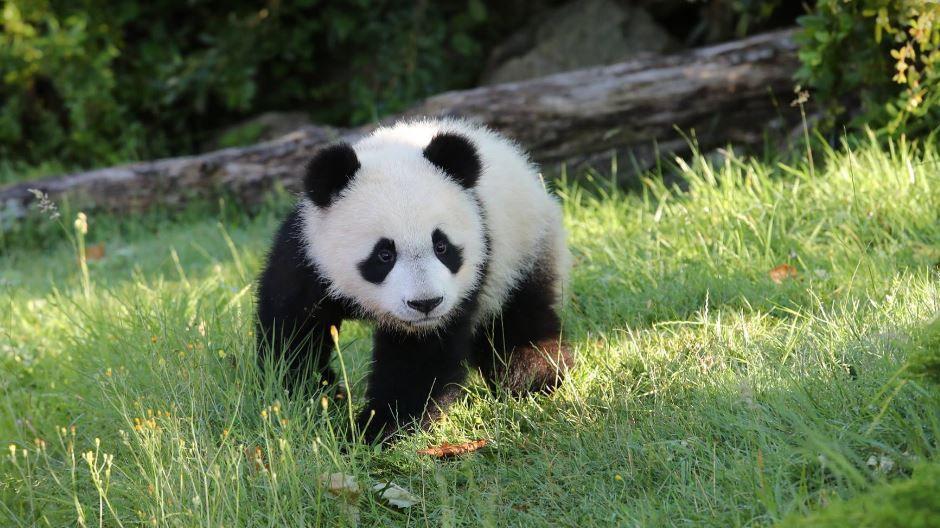 bebe_panda_5_juillet_zoo_de_beauval_-3770327