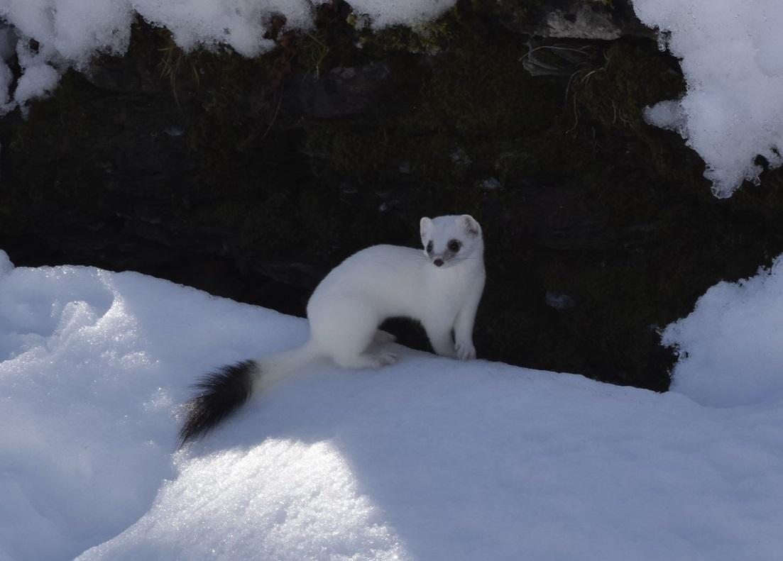Hermine_et_son_pelage_hivernal