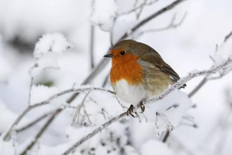 Rouge-gorge dans la neige (2).jpg