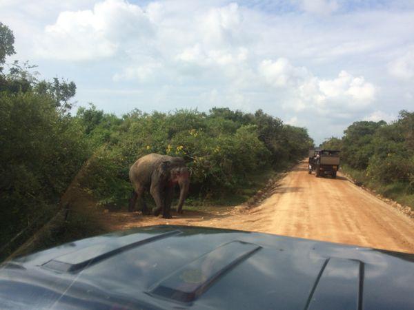 20 fev - Safari Yala THE elephant (1).JPG